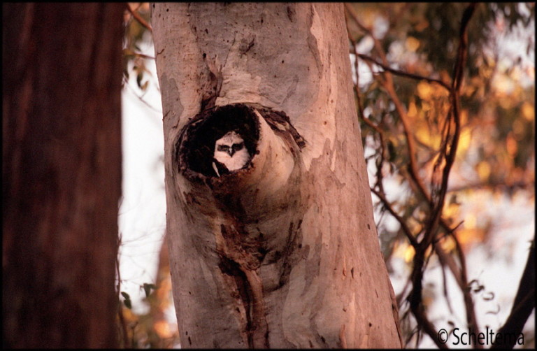 The UCLN will continue with its work on the Biolink projects,identifying focal species such as the Powerful Owl,seen here. Pic Scheltema