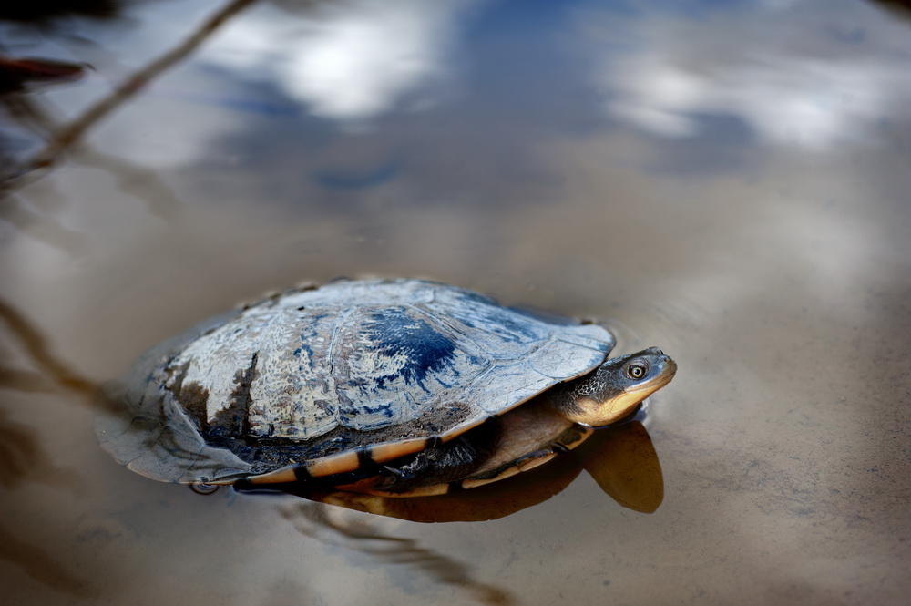A long necked turtle on the move.