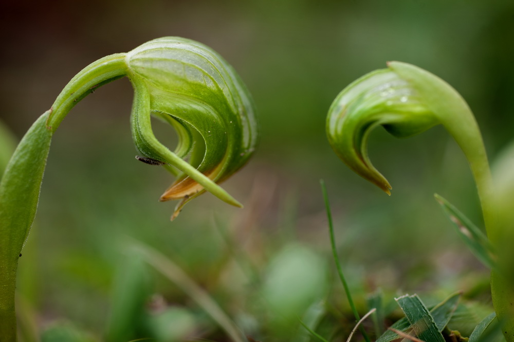 Nodding  greenhood orchids are an early sign of spring  at Black Hill Reserve. ©Scheltema