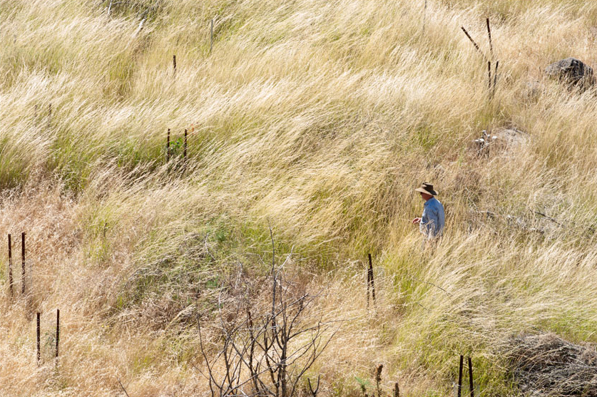 Need help identifying exotic Stipoid Grasses? Come along to an information session to teach you about this harmful weed.©Scheltema