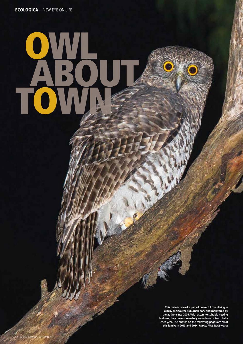 Powerful owls Bronwyn Isaac March 2015-1_resize