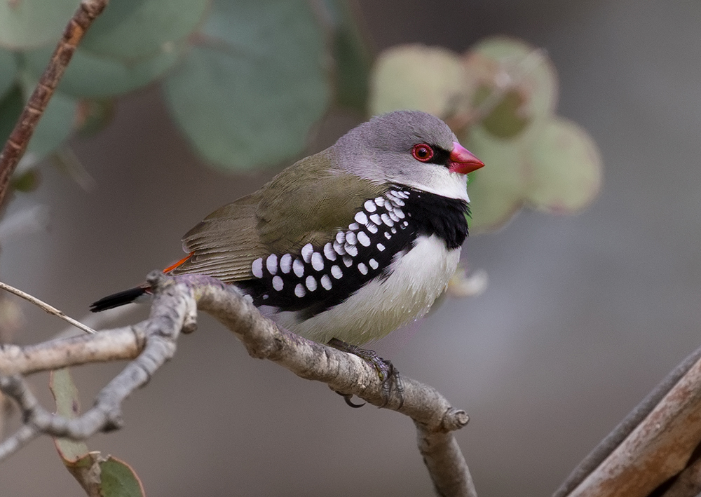 COme and learn about the Feathered Five,such as this Diamond Firetail ,at the Feathered Five Festival on March 19-20th. Pic Geoff Parks