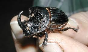 Dung beetles - All you need to know about about dung beetles ...